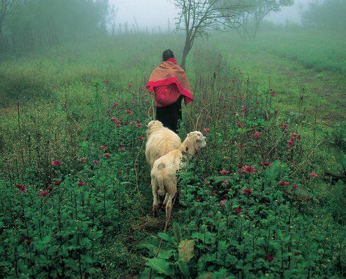 Herding sheep. Nabenchauk, 1991.
